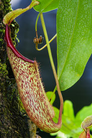 stock photo of nepenthes-mirabilis  - The insect eater when lacking of mineral - JPG