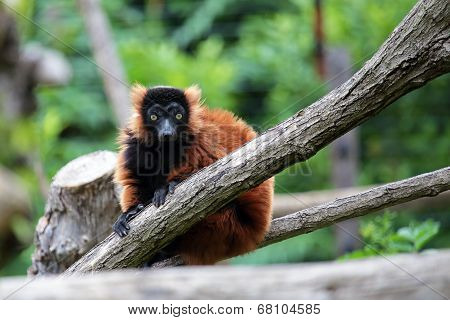 Red Ruffed Lemur On A Tree