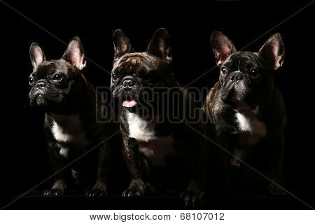 Three french bulldogs on black.