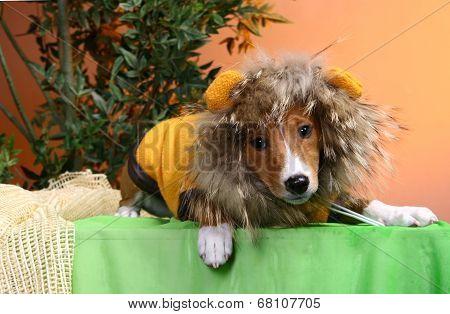 Basenji puppy on the orange background