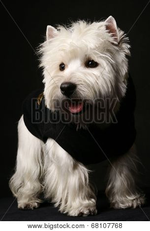 West higland white terrier