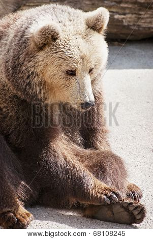 Brown Bear Sitting On The Ground