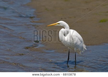 Great egret looking out into the marsh