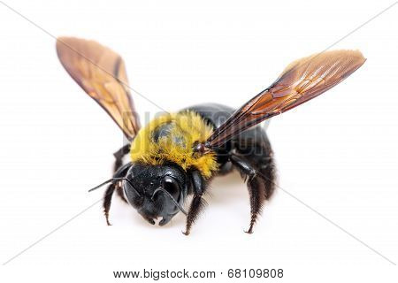 Carpenter Xylocopa