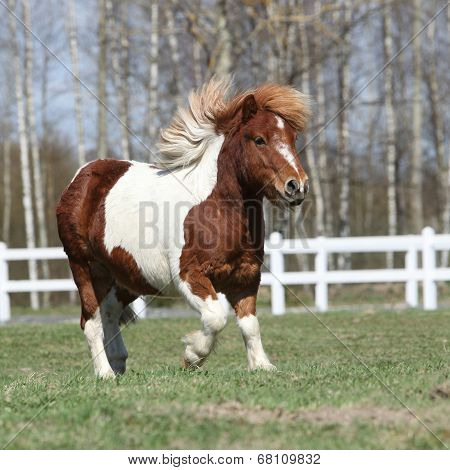 Gorgeous Shetland Pony Running