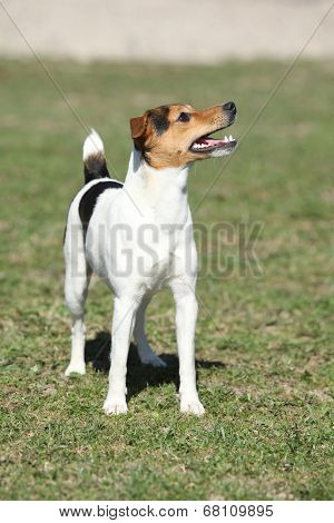 Nice Parson Russell Terrier In Nature
