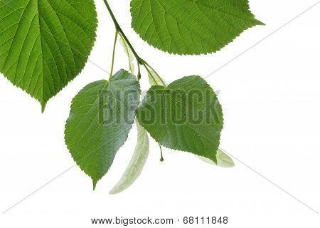 Linden Tree Branch Blossom