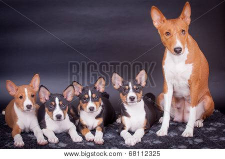 Little Basenji puppies with mother on black