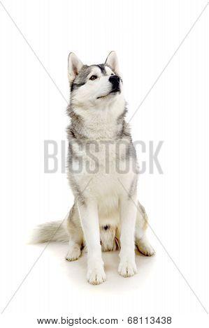 Siberian Husky on white