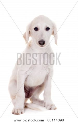 Tazy - Kazakh greyhound on white