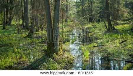 Soporte pantanosa con Aliso Viejo árboles y corriente