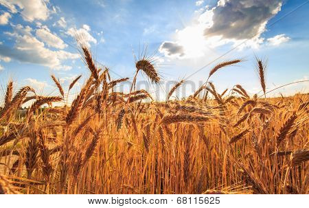 Summer wheat