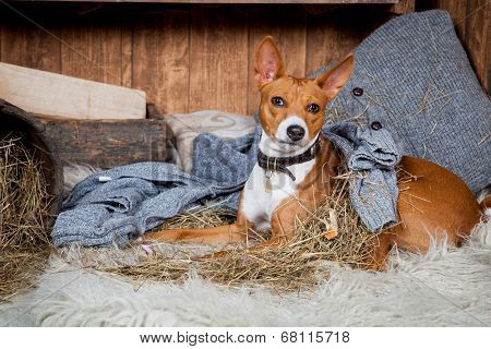 Basenji-dog in barn