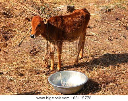 Small Calf