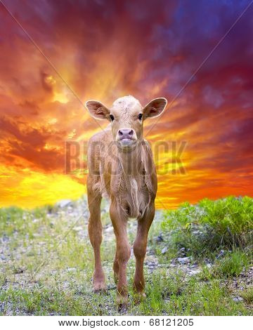 Longhorn Calf Out Grazing At Sunrise