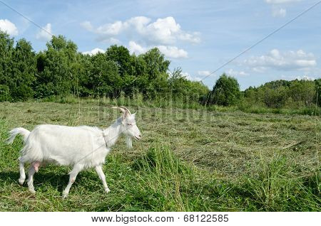 Meadow Graze White Goat Nibble On Grass