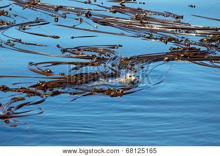 Seals Inside Of A Large Kelp Reef