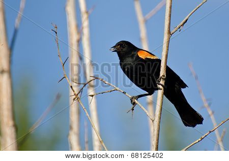 Red-winged Blackbird Holding Captured Insect