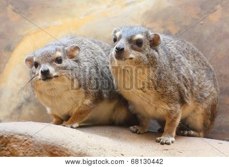 Funny animals portrait of The Rock Hyrax (Procavia capensis). It is a medium-sized african mammal.
