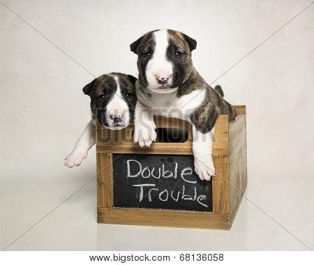 Bull Terrier puppy siblings