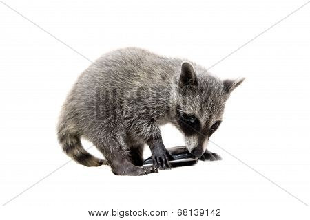 Baby raccoon on white background