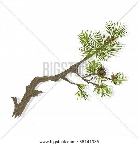 Branch Mountain Pine Vector