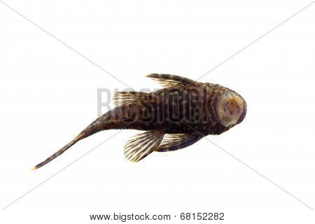 Aquarium Fish Bushymouth catfish on white