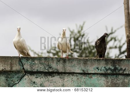 three pigeons of different color and shades sitting on parapet wall