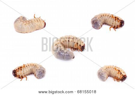 Larva of European rhinoceros beetle on white