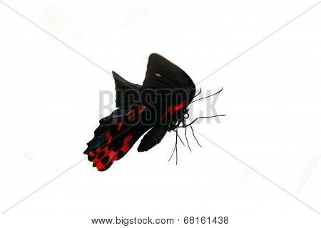 Papilio rumanzovia butterfly on white.