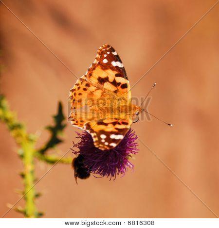 Beautiful Vanessa Cardui Butterfly.
