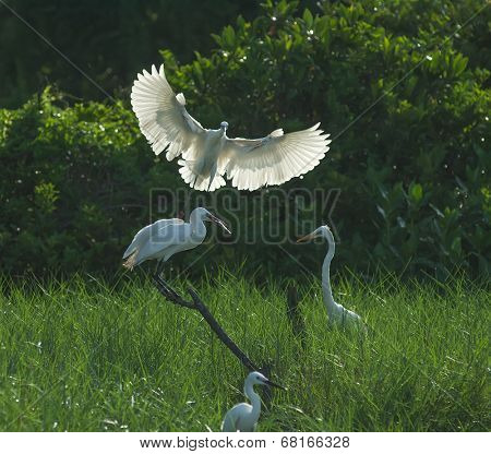 egret play in nature