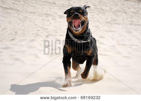 a dog rottweiler