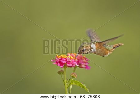 Scintillant Hummingbird-female