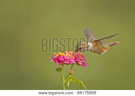 Scintillant Hummingbird-female