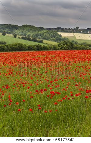 Field Of Red Poppies (papaver Rhoeas)