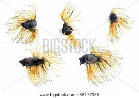 Group crown tail of Siamese fighting fish Beta fish on white background