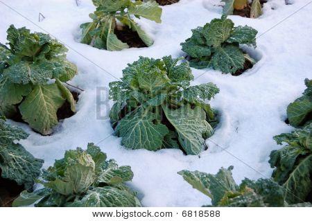 Frozen Cabbages