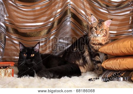 Two Rich maine coon cats