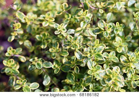 Thymus Vulgaris (common Thyme, Garden Thyme)