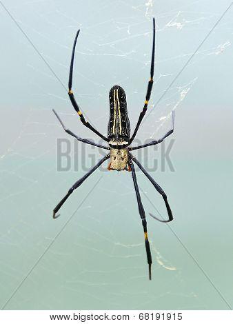 Golden Orb Spider (Nephila pilipes)