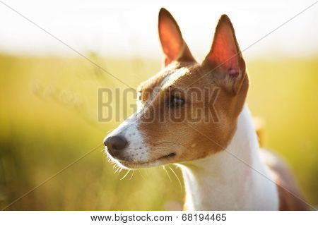 Muzzle Red Basenji Dog