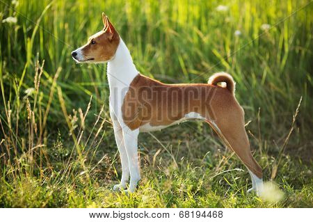 Hunting Dog Breed Basenji