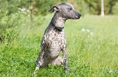foto of mexican-dog  - Xoloitzcuintle  - JPG