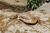picture of slaughter  - Duck with duckling on the riverbank pecking at grains Lower Slaughter Cotswolds Gloucestershire England UK Western Europe - JPG