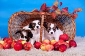stock photo of epagneul  - Three Papillon Puppies - JPG