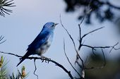 picture of bluebird  - A Male Mountain Bluebird Perched in a Tree - JPG