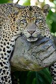 foto of snow-leopard  - A close up shot of an African Leopard  - JPG