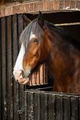 pic of shire horse  - Side profile of brown horse in stable - JPG