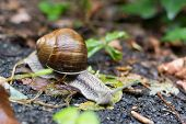 picture of garden snail  - A small snail moving slowly with his house  - JPG